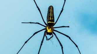 Insecticida para arañas de aceites esenciales