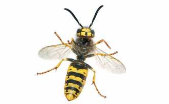 Alejar a las avispas con tomillo trucos de hogar caseros - Como ahuyentar avispas ...