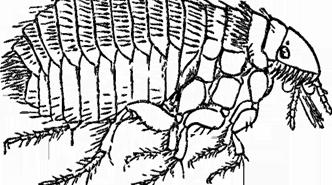 Pulgas en humanos: trata las picaduras con bicarbonato