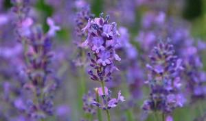 Plantas para eliminar las pulgas de una forma natural
