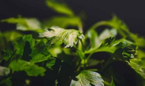 Eliminar el olor a cebolla de las manos con perejil - Trucos de hogar caseros