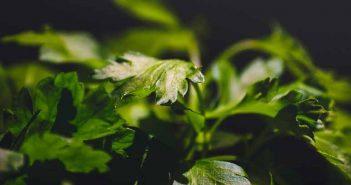 Eliminar el olor a cebolla de las manos con perejil