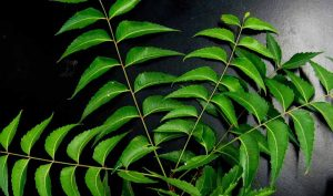 Veneno para cucarachas de aceite de neem